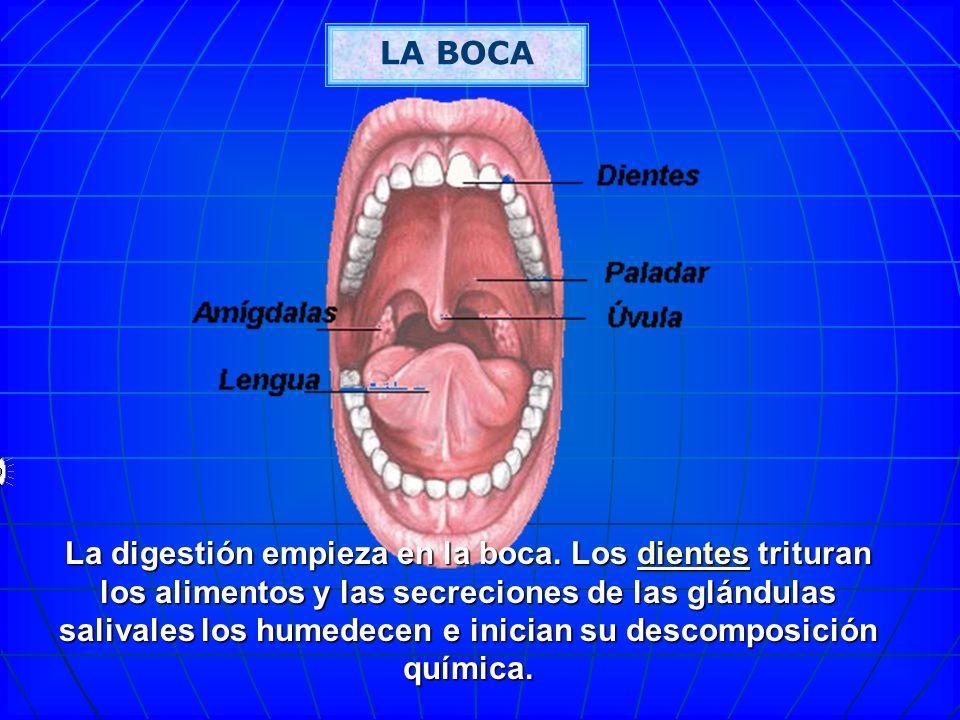 FASES DE LA DIGESTION Deglución Deglución Digestión Estomacal Asimilación Asimilación Masticación. Insalivación Defecación Defecación