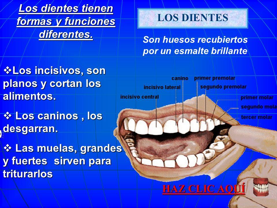 LOS DIENTES Los dientes tienen formas y funciones diferentes.