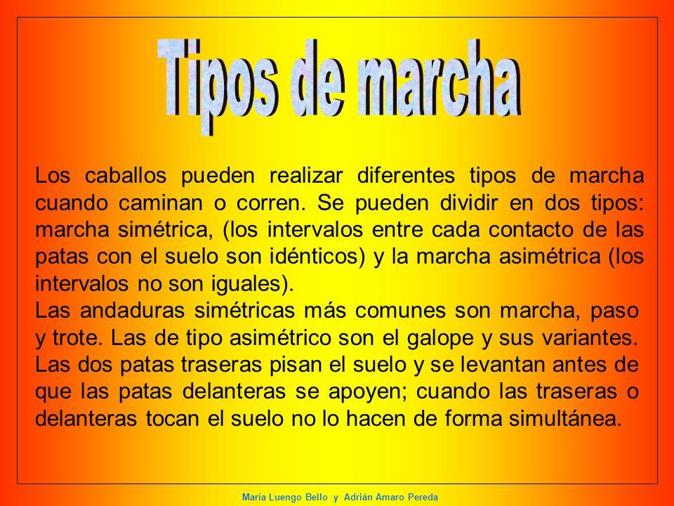 María Luengo Bello y Adrián Amaro Pereda Los caballos pueden realizar diferentes tipos de marcha cuando caminan o corren. Se pueden dividir en dos tip