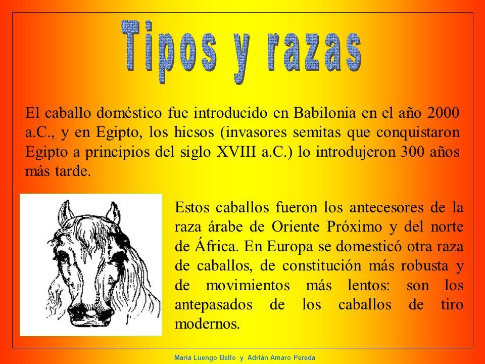 María Luengo Bello y Adrián Amaro Pereda El caballo doméstico fue introducido en Babilonia en el año 2000 a.C., y en Egipto, los hicsos (invasores sem