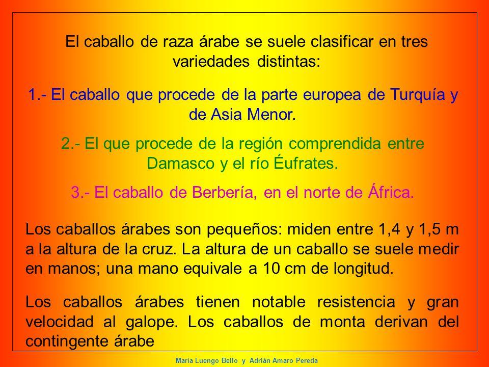 María Luengo Bello y Adrián Amaro Pereda El caballo de raza árabe se suele clasificar en tres variedades distintas: 1.- El caballo que procede de la p