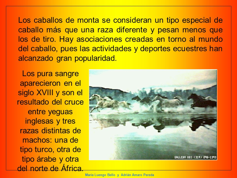 María Luengo Bello y Adrián Amaro Pereda Los pura sangre aparecieron en el siglo XVIII y son el resultado del cruce entre yeguas inglesas y tres razas