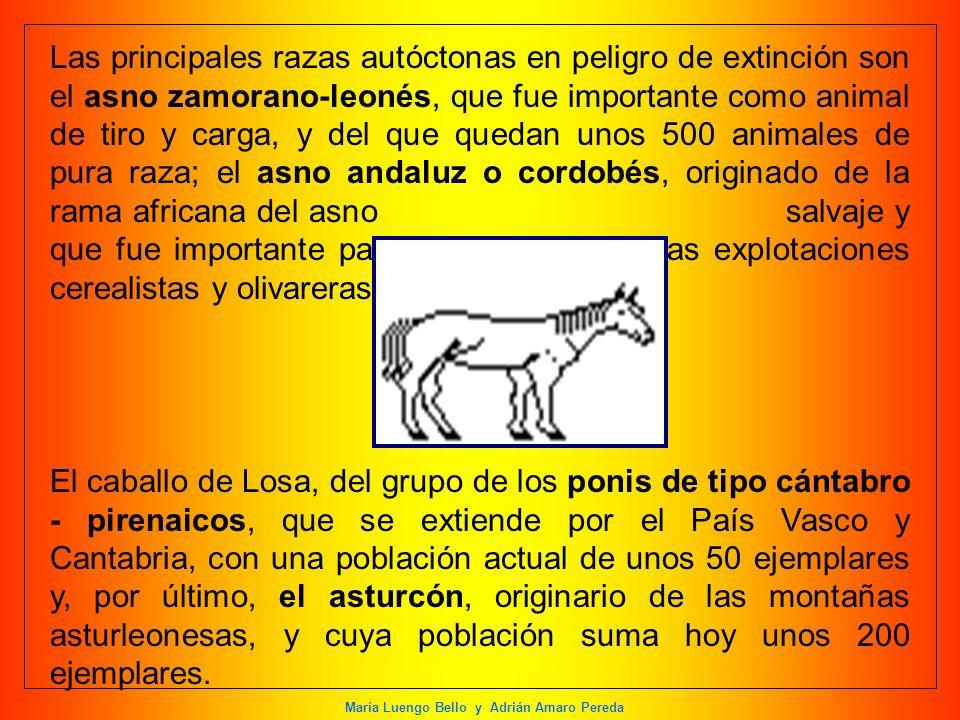 María Luengo Bello y Adrián Amaro Pereda Las principales razas autóctonas en peligro de extinción son el asno zamorano-leonés, que fue importante como