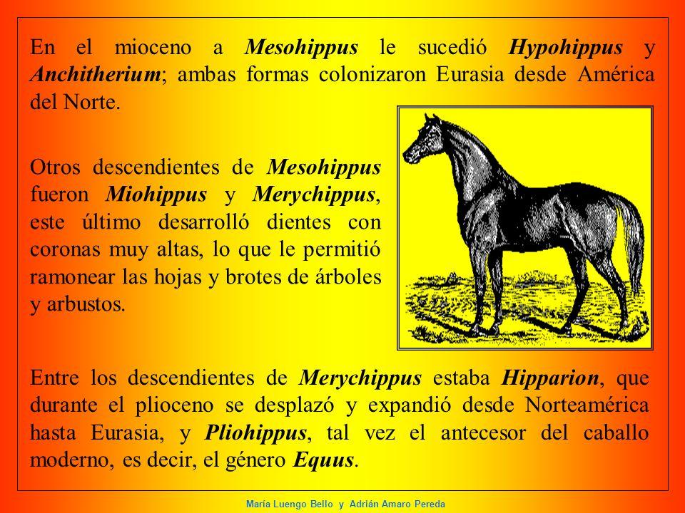 María Luengo Bello y Adrián Amaro Pereda En el mioceno a Mesohippus le sucedió Hypohippus y Anchitherium; ambas formas colonizaron Eurasia desde Améri
