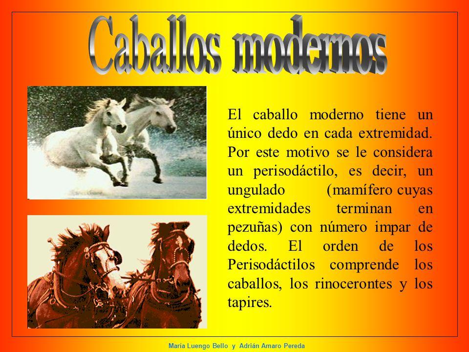 María Luengo Bello y Adrián Amaro Pereda El caballo moderno tiene un único dedo en cada extremidad. Por este motivo se le considera un perisodáctilo,