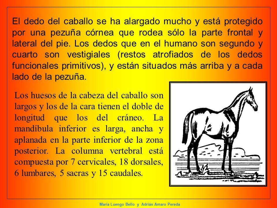 María Luengo Bello y Adrián Amaro Pereda El dedo del caballo se ha alargado mucho y está protegido por una pezuña córnea que rodea sólo la parte front