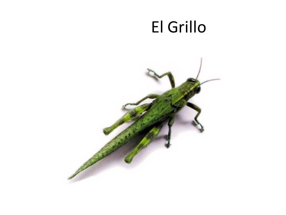 Coro Del Grillo El adulto de los grillos pasan sus días en bajo madriguera debajo de una piedra, del clod de la suciedad o de un penacho de la planta.