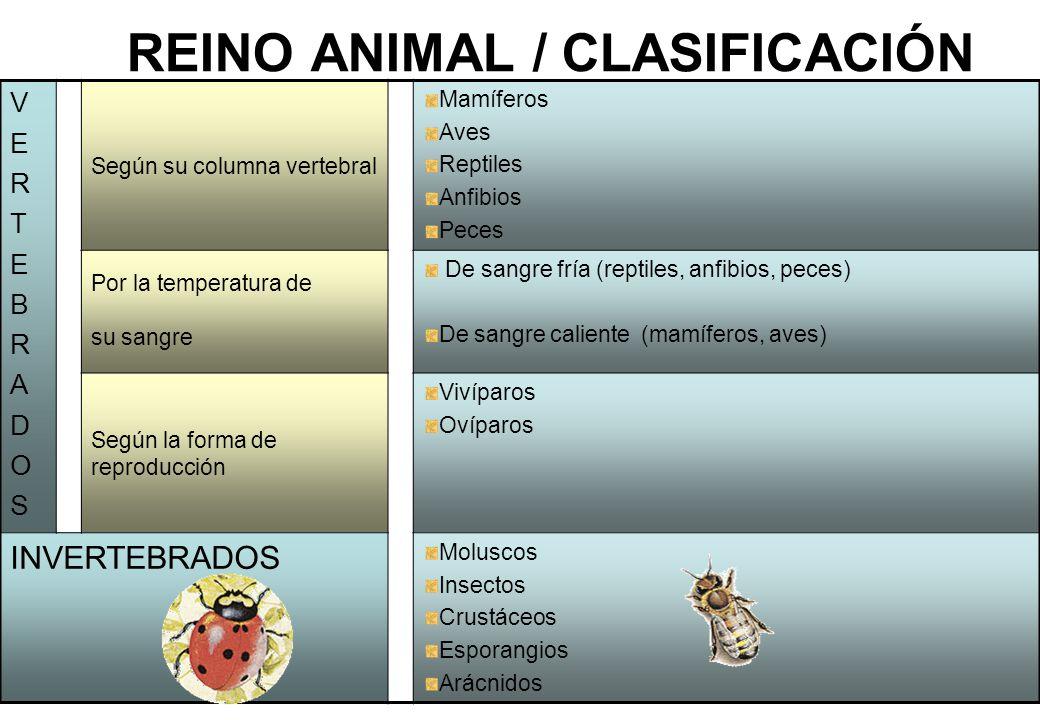 1 REINO ANIMAL / CLASIFICACIÓN VERTEBRADOSVERTEBRADOS Según su columna vertebral Mamíferos Aves Reptiles Anfibios Peces Por la temperatura de su sangr