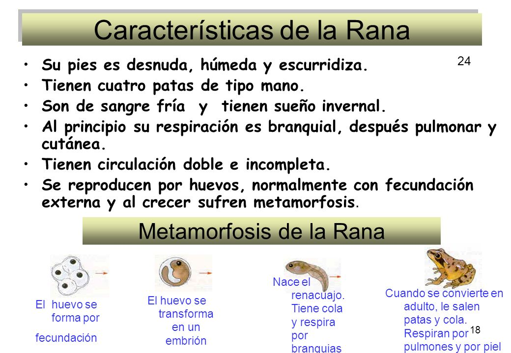 18 Características de la Rana Su pies es desnuda, húmeda y escurridiza. Tienen cuatro patas de tipo mano. Son de sangre fría y tienen sueño invernal.