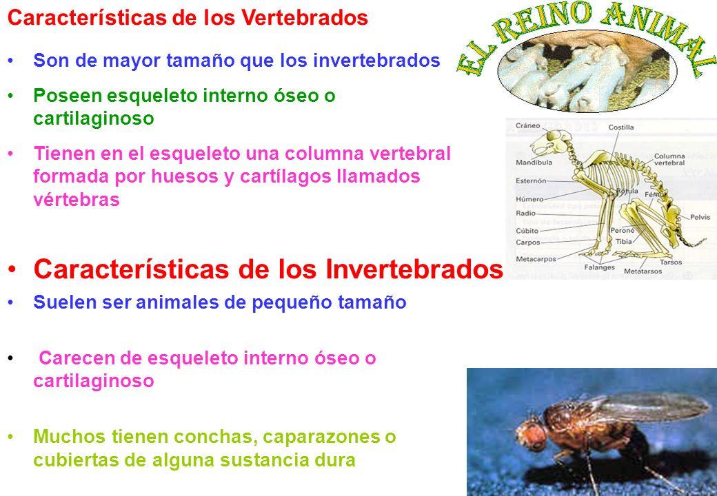 2 Son de mayor tamaño que los invertebrados Poseen esqueleto interno óseo o cartilaginoso Tienen en el esqueleto una columna vertebral formada por hue