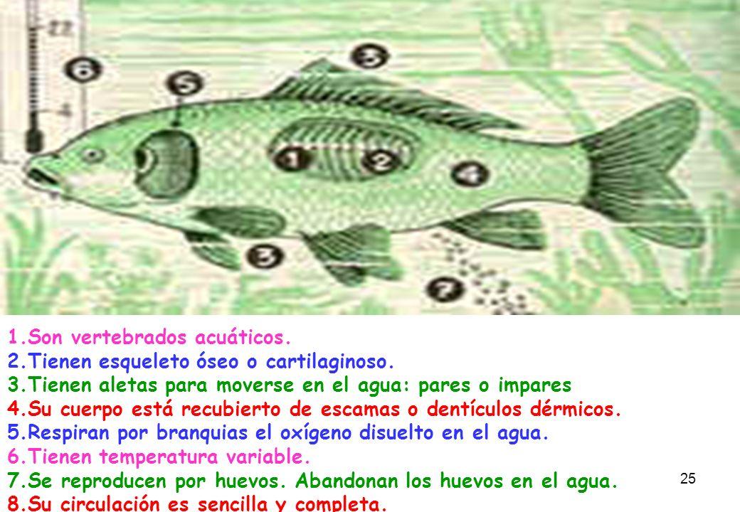 25 1.Son vertebrados acuáticos. 2.Tienen esqueleto óseo o cartilaginoso. 3.Tienen aletas para moverse en el agua: pares o impares 4.Su cuerpo está rec