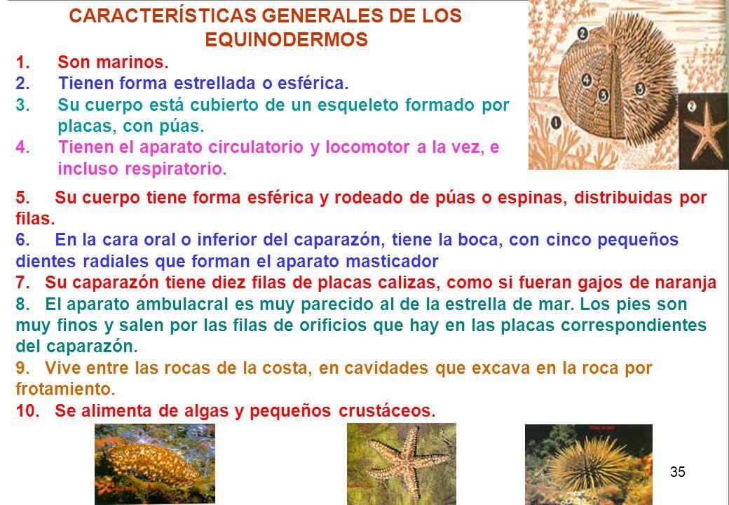 35 CARACTERÍSTICAS GENERALES DE LOS EQUINODERMOS 1.Son marinos. 2.Tienen forma estrellada o esférica. 3.Su cuerpo está cubierto de un esqueleto formad