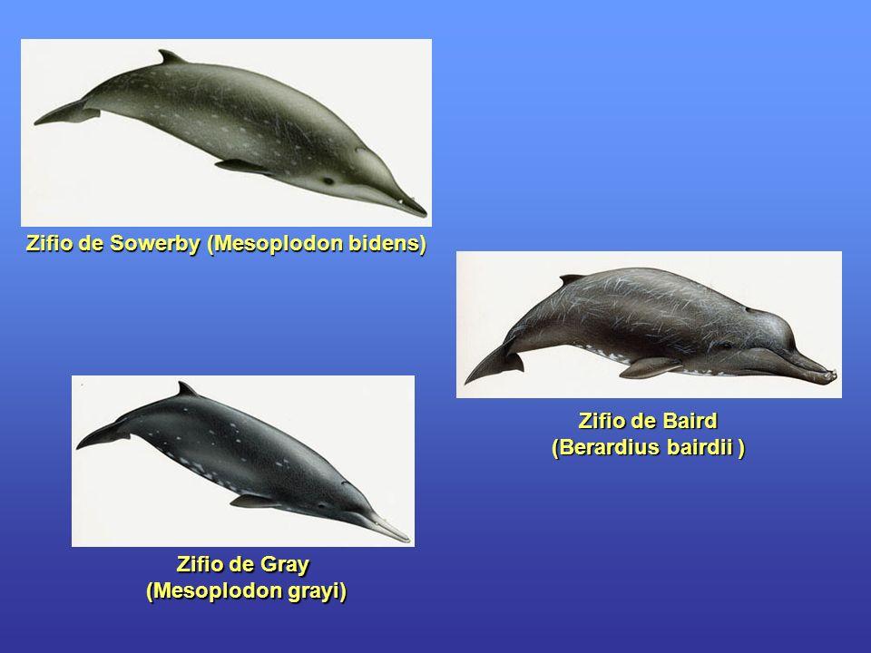 Zifio de Gray (Mesoplodon grayi) (Mesoplodon grayi) Zifio de Baird (Berardius bairdii ) Zifio de Sowerby (Mesoplodon bidens)