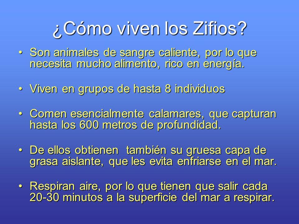 ¿Cómo viven los Zifios? Son animales de sangre caliente, por lo que necesita mucho alimento, rico en energía.Son animales de sangre caliente, por lo q