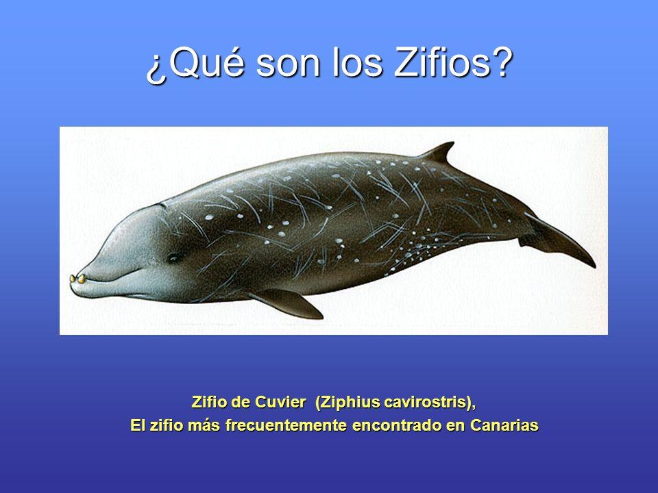 ¿Qué son los Zifios? Zifio de Cuvier (Ziphius cavirostris), El zifio más frecuentemente encontrado en Canarias
