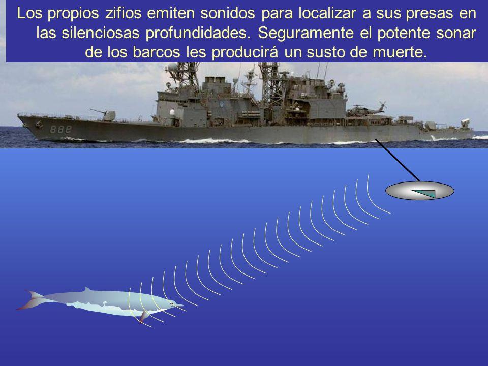 Los propios zifios emiten sonidos para localizar a sus presas en las silenciosas profundidades. Seguramente el potente sonar de los barcos les produci