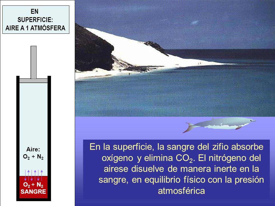Aire: O 2 + N 2 SANGRE EN SUPERFICIE: AIRE A 1 ATMÓSFERA En la superficie, la sangre del zifio absorbe oxígeno y elimina CO 2. El nitrógeno del airese