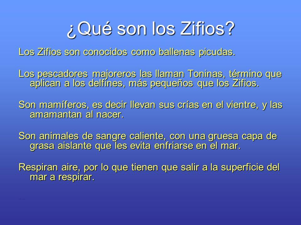 ¿Qué son los Zifios? Los Zifios son conocidos como ballenas picudas. Los pescadores majoreros las llaman Toninas, término que aplican a los delfines,