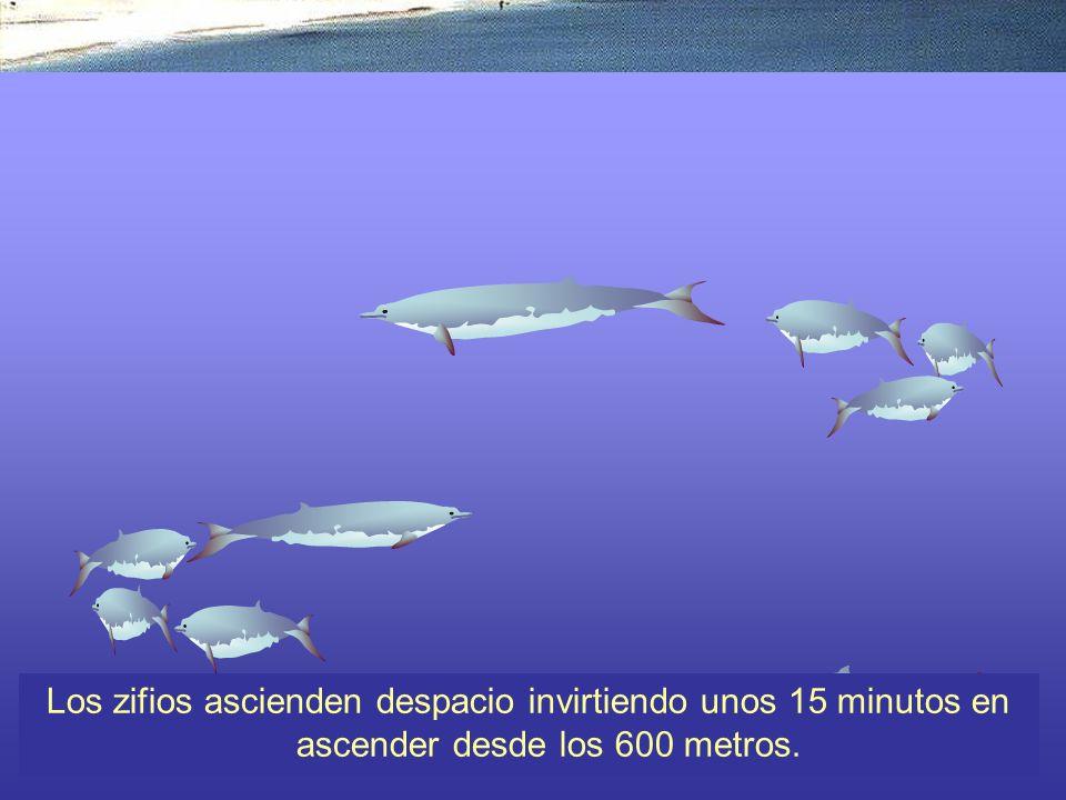 Los zifios ascienden despacio invirtiendo unos 15 minutos en ascender desde los 600 metros.