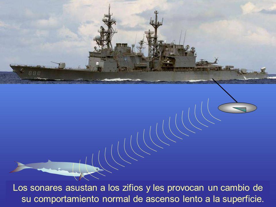 Los sonares asustan a los zifios y les provocan un cambio de su comportamiento normal de ascenso lento a la superficie.