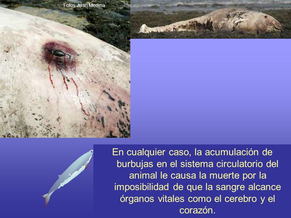 Fotos Juan Medina En cualquier caso, la acumulación de burbujas en el sistema circulatorio del animal le causa la muerte por la imposibilidad de que l
