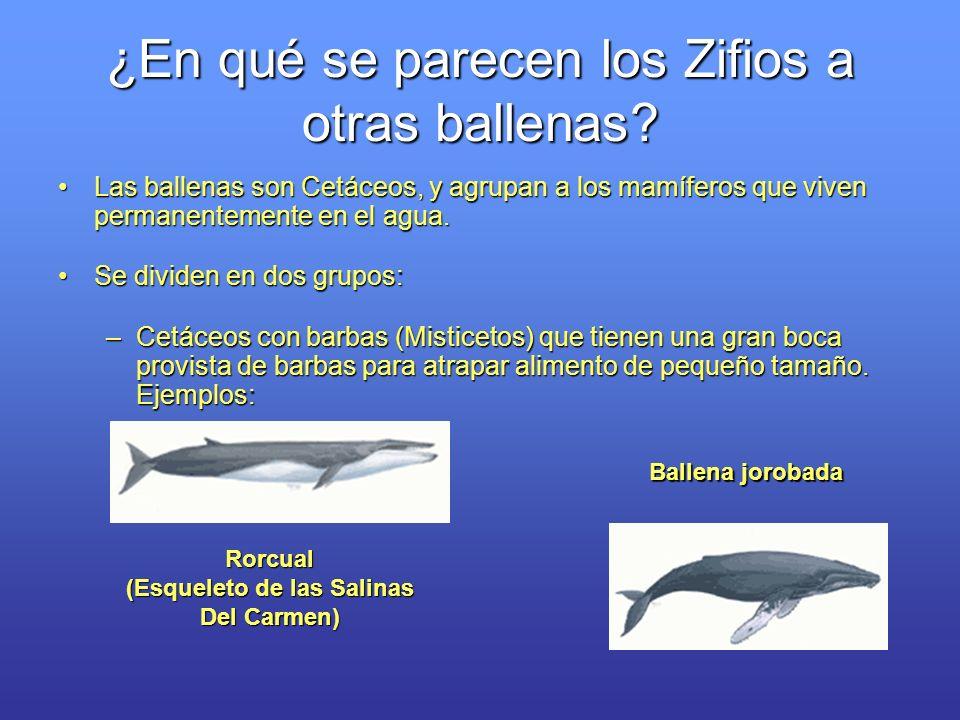 ¿En qué se parecen los Zifios a otras ballenas? Las ballenas son Cetáceos, y agrupan a los mamíferos que viven permanentemente en el agua.Las ballenas