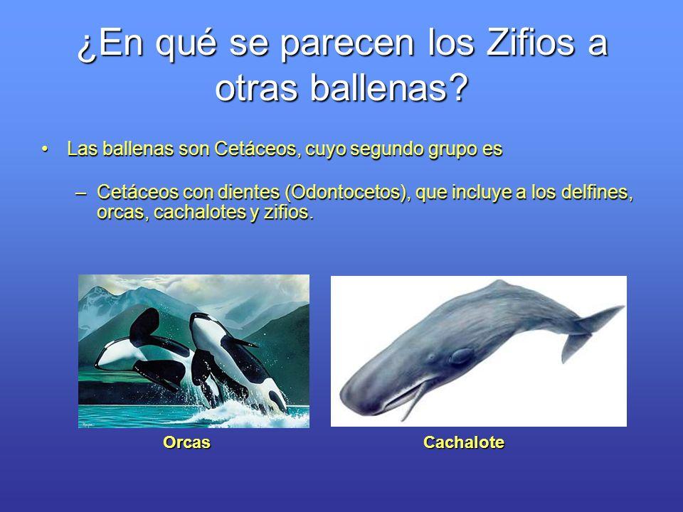 ¿En qué se parecen los Zifios a otras ballenas? Las ballenas son Cetáceos, cuyo segundo grupo esLas ballenas son Cetáceos, cuyo segundo grupo es –Cetá