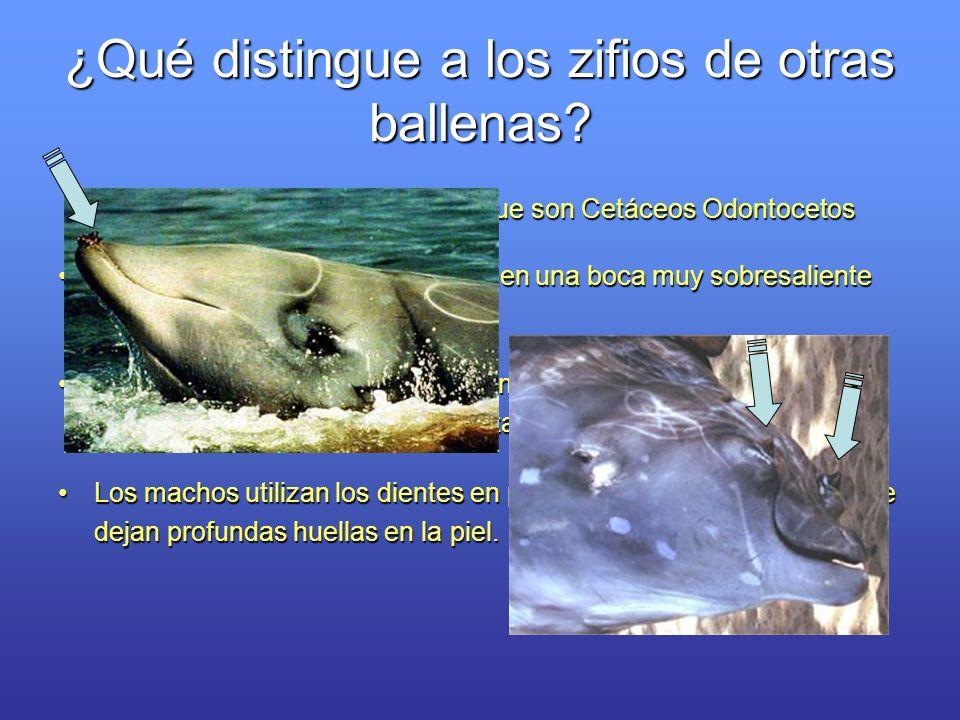 ¿Qué distingue a los zifios de otras ballenas? Los zifios tienen dientes, por lo que son Cetáceos Odontocetos Los zifios, o ballenas picudas, tienen u