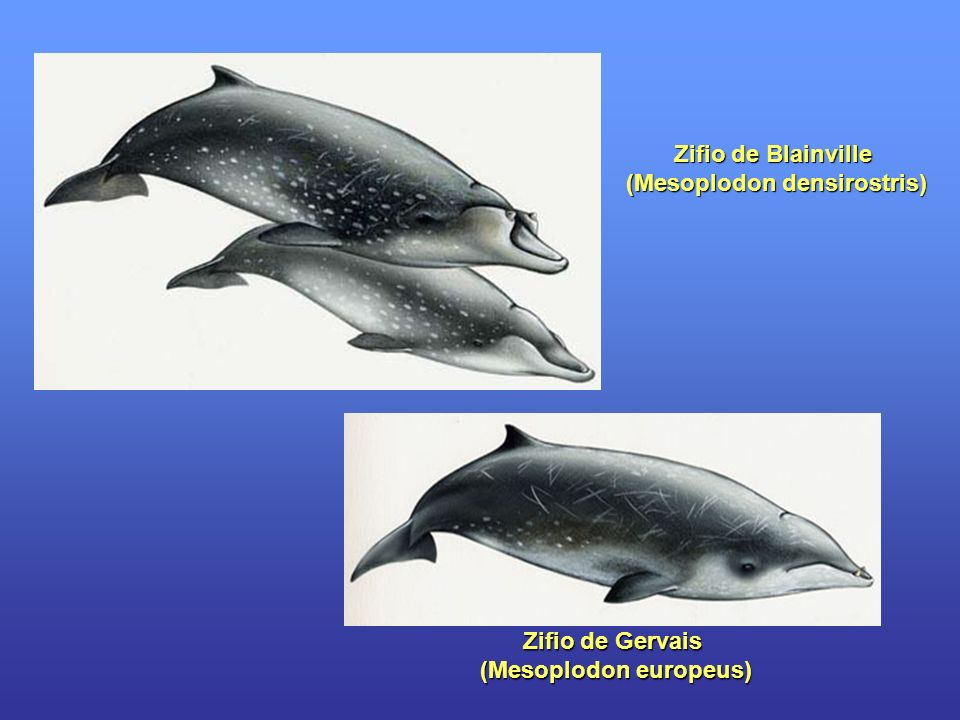 Zifio de Blainville (Mesoplodon densirostris) Zifio de Gervais (Mesoplodon europeus) (Mesoplodon europeus)
