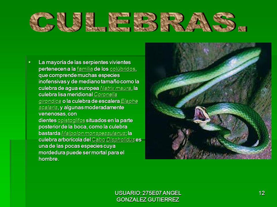 USUARIO: 275E07 ANGEL GONZALEZ GUTIERREZ 12 La mayoría de las serpientes vivientes pertenecen a la familia de los colúbridos, que comprende muchas especies inofensivas y de mediano tamaño como la culebra de agua europea Natrix maura, la culebra lisa meridional Coronella girondica o la culebra de escalera Elaphe scalaris, y algunas moderadamente venenosas, con dientes opistoglifos situados en la parte posterior de la boca, como la culebra bastarda Malpolon monspessulanus; la culebra arborícola del Cabo Dispholidus es una de las pocas especies cuya mordedura puede ser mortal para el hombre.