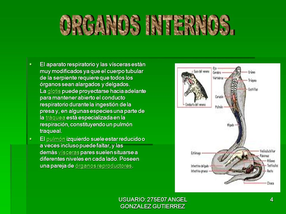 USUARIO: 275E07 ANGEL GONZALEZ GUTIERREZ 4 El aparato respiratorio y las vísceras están muy modificados ya que el cuerpo tubular de la serpiente requiere que todos los órganos sean alargados y delgados.