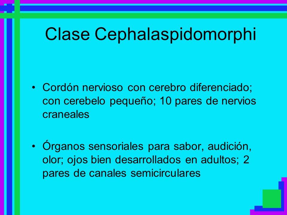 Clase Cephalaspidomorphi Cordón nervioso con cerebro diferenciado; con cerebelo pequeño; 10 pares de nervios craneales Órganos sensoriales para sabor,