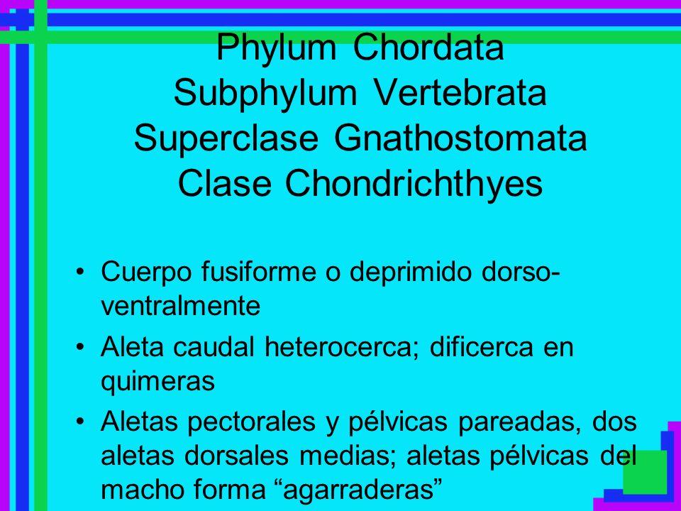 Phylum Chordata Subphylum Vertebrata Superclase Gnathostomata Clase Chondrichthyes Cuerpo fusiforme o deprimido dorso- ventralmente Aleta caudal heter