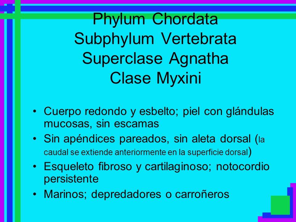 Phylum Chordata Subphylum Vertebrata Superclase Agnatha Clase Myxini Cuerpo redondo y esbelto; piel con glándulas mucosas, sin escamas Sin apéndices p