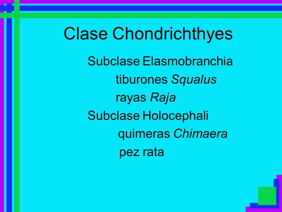 Clase Chondrichthyes Subclase Elasmobranchia tiburones Squalus rayas Raja Subclase Holocephali quimeras Chimaera pez rata
