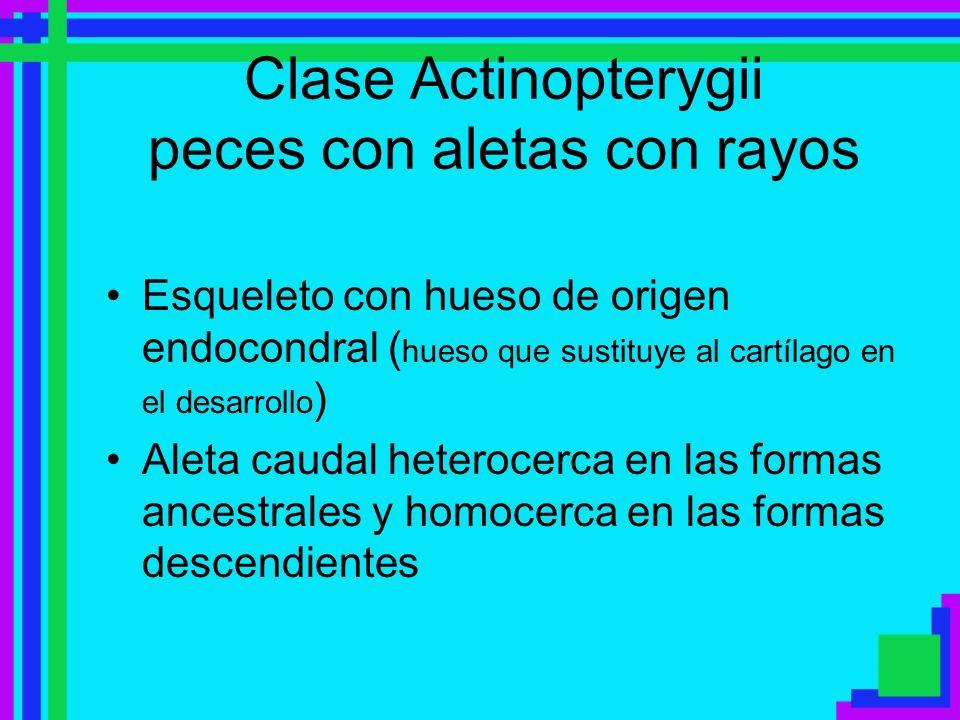 Clase Actinopterygii peces con aletas con rayos Esqueleto con hueso de origen endocondral ( hueso que sustituye al cartílago en el desarrollo ) Aleta