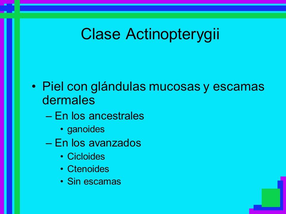 Clase Actinopterygii Piel con glándulas mucosas y escamas dermales –En los ancestrales ganoides –En los avanzados Cicloides Ctenoides Sin escamas