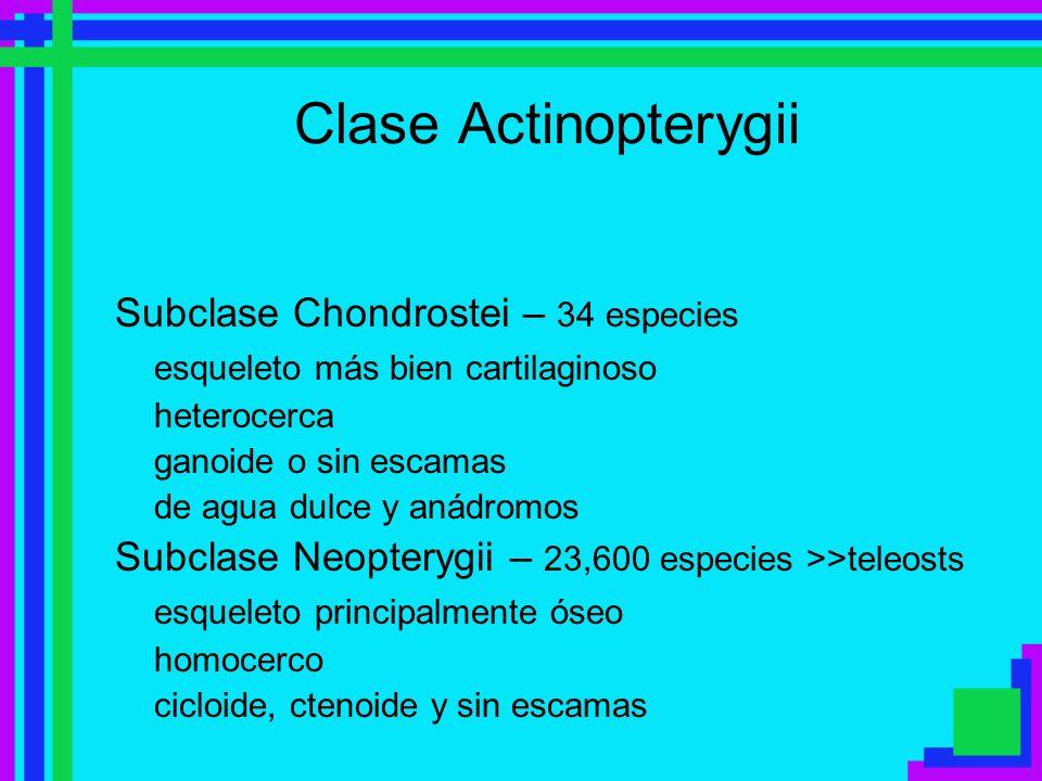 Clase Actinopterygii Subclase Chondrostei – 34 especies esqueleto más bien cartilaginoso heterocerca ganoide o sin escamas de agua dulce y anádromos S