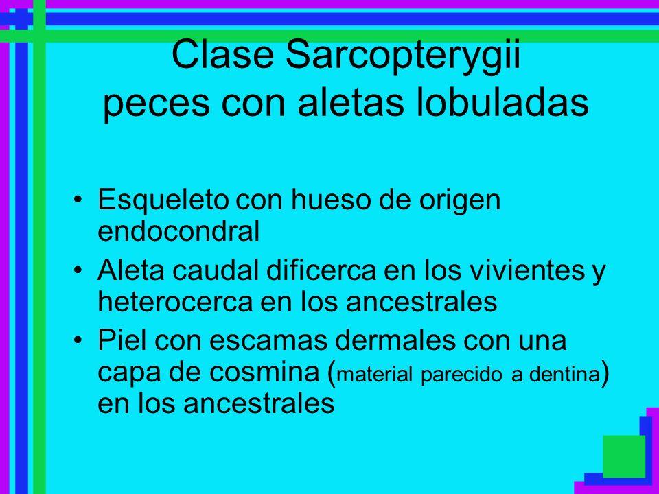 Clase Sarcopterygii peces con aletas lobuladas Esqueleto con hueso de origen endocondral Aleta caudal dificerca en los vivientes y heterocerca en los