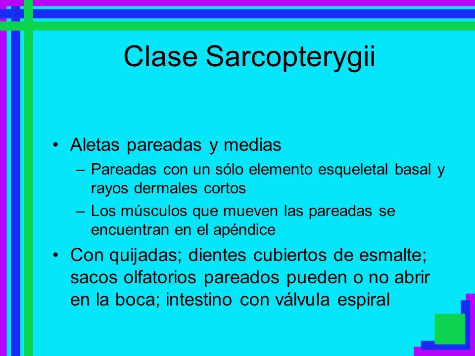 Clase Sarcopterygii Aletas pareadas y medias –Pareadas con un sólo elemento esqueletal basal y rayos dermales cortos –Los músculos que mueven las pare