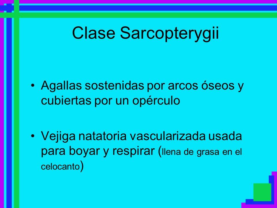 Clase Sarcopterygii Agallas sostenidas por arcos óseos y cubiertas por un opérculo Vejiga natatoria vascularizada usada para boyar y respirar ( llena