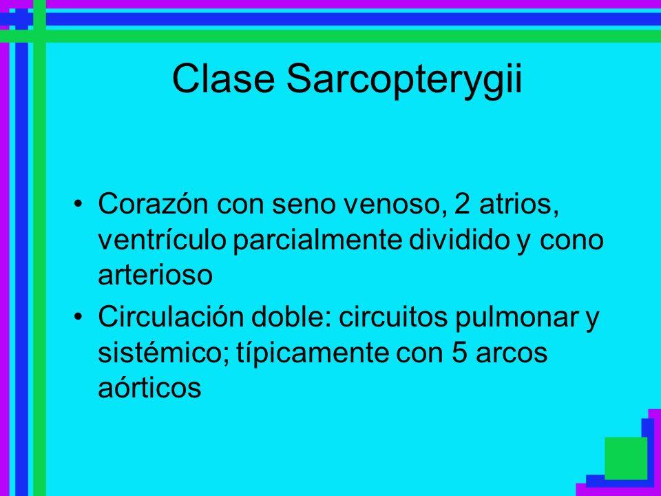 Clase Sarcopterygii Corazón con seno venoso, 2 atrios, ventrículo parcialmente dividido y cono arterioso Circulación doble: circuitos pulmonar y sisté