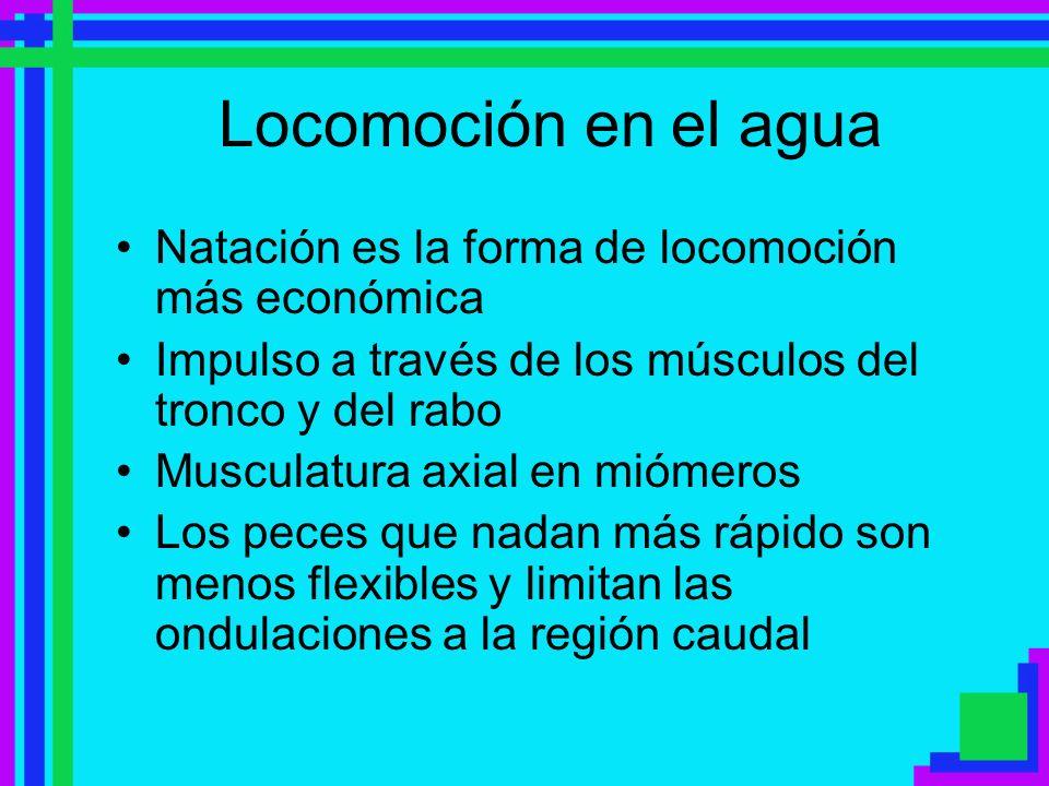 Locomoción en el agua Natación es la forma de locomoción más económica Impulso a través de los músculos del tronco y del rabo Musculatura axial en mió