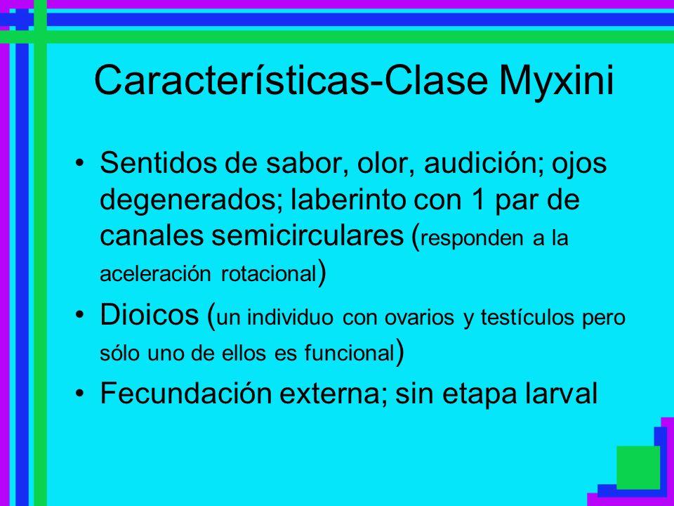 Características-Clase Myxini Sentidos de sabor, olor, audición; ojos degenerados; laberinto con 1 par de canales semicirculares ( responden a la acele