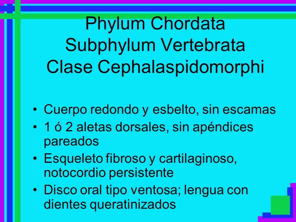 Phylum Chordata Subphylum Vertebrata Clase Cephalaspidomorphi Cuerpo redondo y esbelto, sin escamas 1 ó 2 aletas dorsales, sin apéndices pareados Esqu