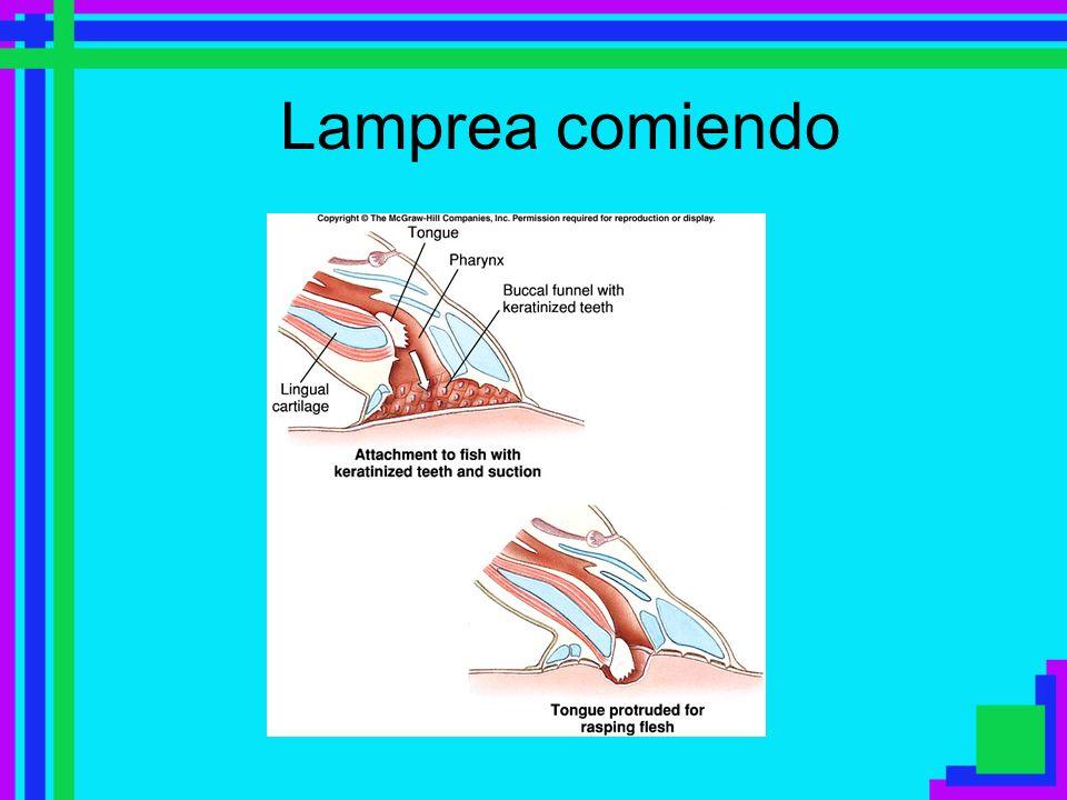 Clase Sarcopterygii Aletas pareadas y medias –Pareadas con un sólo elemento esqueletal basal y rayos dermales cortos –Los músculos que mueven las pareadas se encuentran en el apéndice Con quijadas; dientes cubiertos de esmalte; sacos olfatorios pareados pueden o no abrir en la boca; intestino con válvula espiral