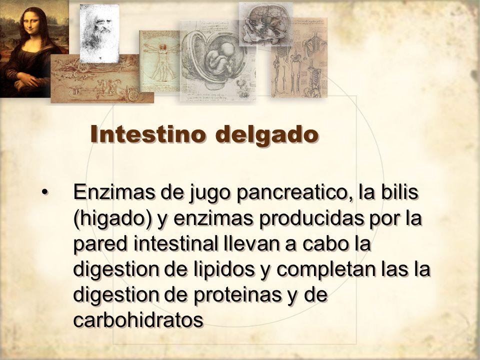 Intestino delgado Enzimas de jugo pancreatico, la bilis (higado) y enzimas producidas por la pared intestinal llevan a cabo la digestion de lipidos y completan las la digestion de proteinas y de carbohidratos