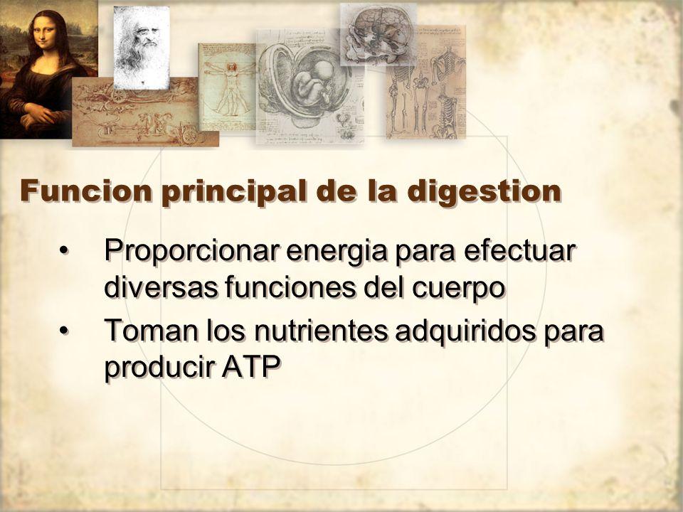 Funcion principal de la digestion Proporcionar energia para efectuar diversas funciones del cuerpo Toman los nutrientes adquiridos para producir ATP Proporcionar energia para efectuar diversas funciones del cuerpo Toman los nutrientes adquiridos para producir ATP