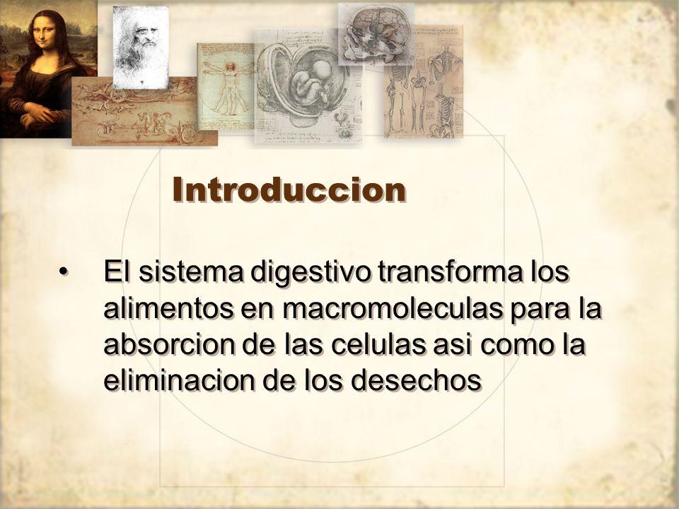 Introduccion El sistema digestivo transforma los alimentos en macromoleculas para la absorcion de las celulas asi como la eliminacion de los desechos