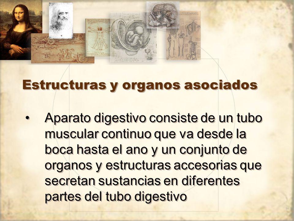 Estructuras y organos asociados Aparato digestivo consiste de un tubo muscular continuo que va desde la boca hasta el ano y un conjunto de organos y estructuras accesorias que secretan sustancias en diferentes partes del tubo digestivo